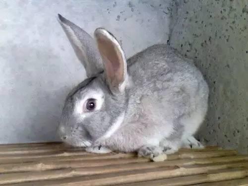 养兔常见问题、如何提高兔毛产量和质量